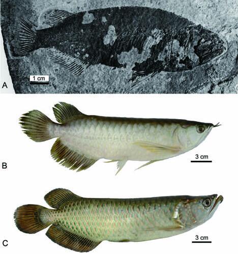 中华金龙鱼化石(A)与东南亚的美丽金龙鱼(B)及澳大利亚的雷卡德金龙鱼(C)对比。