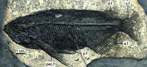 中华金龙鱼化石正型标本。 本文图片 张江永供图
