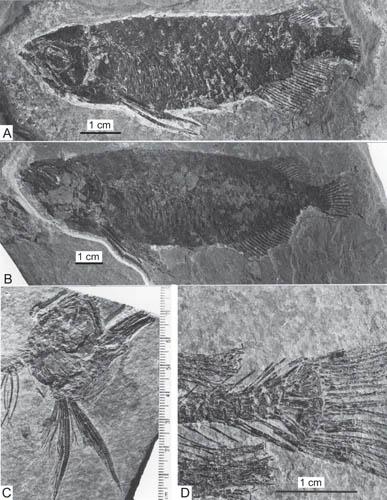 中华金龙鱼化石。